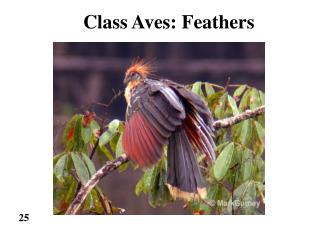 Class Aves: Feathers