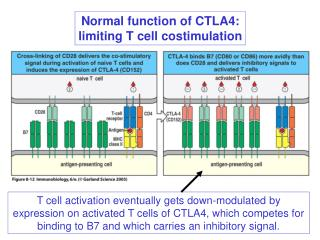 Normal function of CTLA4: limiting T cell costimulation
