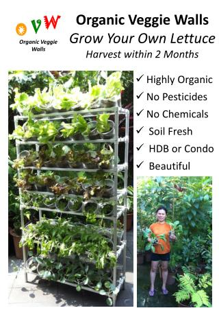Organic Veggie Walls Grow Your Own Lettuce Harvest within 2 Months