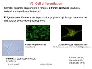 Germ Cells  Fertilization