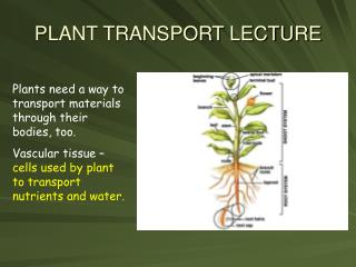 PLANT TRANSPORT LECTURE