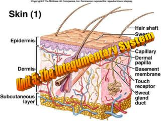 Unit 5: The Integumentary System