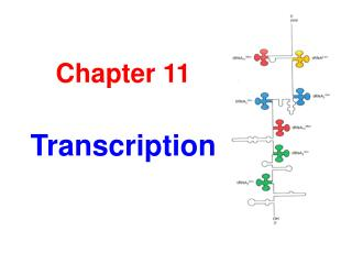 Chapter 11 Transcription