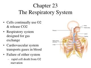 Chapter 23 The Respiratory System