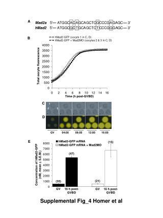 Total oocyte fluorescence