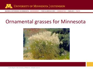 Ornamental grasses for Minnesota