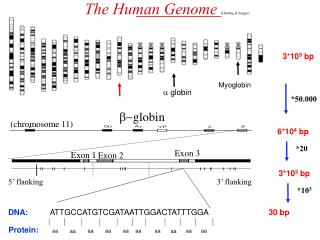 The Human Genome (Harding & Sanger)