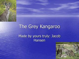 The Grey Kangaroo