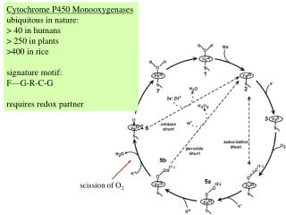 Cytochrome P450 Monooxygenases ubiquitous in nature: > 40 in humans > 250 in plants >400 in rice