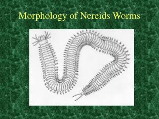 Morphology of Nereids Worms