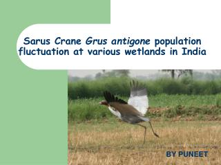 Sarus Crane  Grus antigone  population fluctuation at various wetlands in India