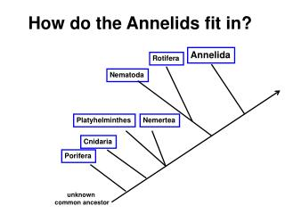 How do the Annelids fit in?