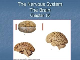 The Nervous System The Brain  Chapter 16