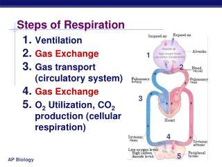 Steps of Respiration
