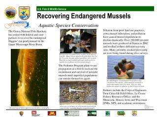 Encysted mussel larvae appear as grains of rice on fish gills.