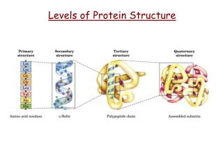 Levels of Protein Structure
