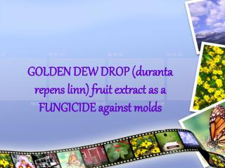 GOLDEN DEW DROP (duranta repens linn) fruit extract as a FUNGICIDE against molds