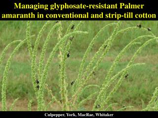 Managing glyphosate-resistant Palmer amaranth in conventional and strip-till cotton
