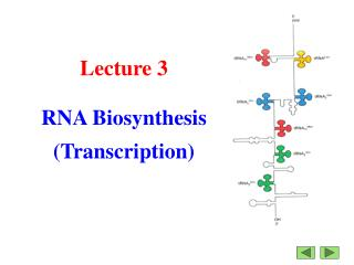 Lecture 3 RNA Biosynthesis (Transcription)