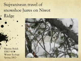 Supranivean travel of snowshoe hares on Niwot Ridge