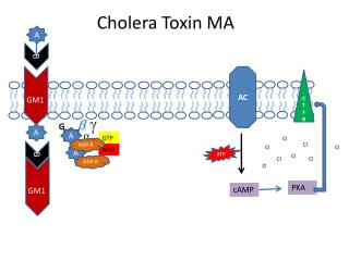 Cholera Toxin MA