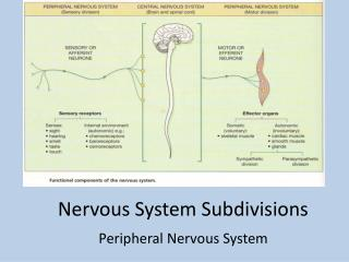 Nervous System Subdivisions