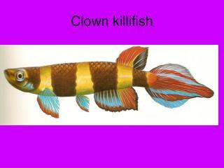 Clown killifish