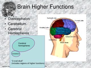 Brain Higher Functions