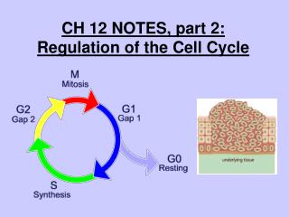 CH 12 NOTES, part 2:  Regulation of the Cell Cycle