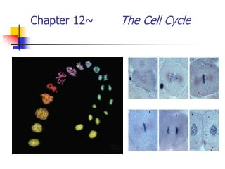 Chapter 12~ 		 The Cell Cycle