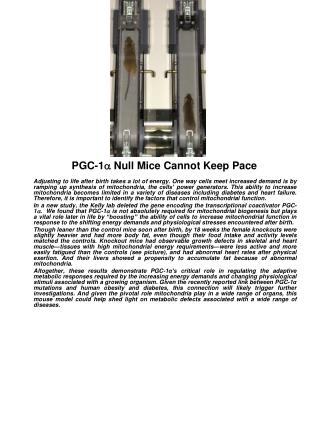 PGC-1 a  Null Mice Cannot Keep Pace