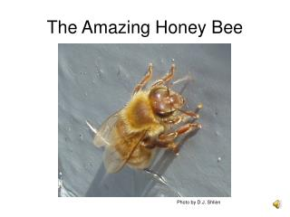 The Amazing Honey Bee