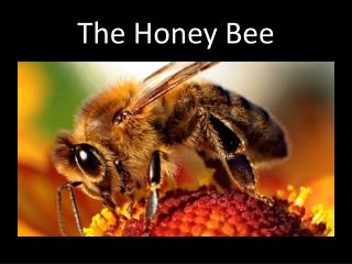 The Honey Bee