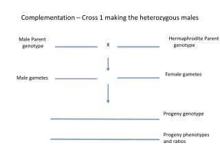 Complementation – Cross 1 making the heterozygous males