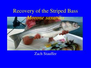 Recovery of the Striped Bass  Morone saxatilis