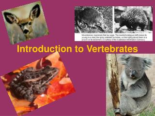 Introduction to Vertebrates
