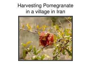 Harvesting Pomegranate in a village in Iran