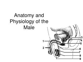 Anatomy and Physiology of the Male