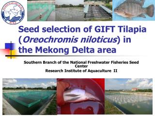 Seed selection of GIFT Tilapia ( Oreochromis niloticus ) in the Mekong Delta area