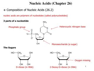 Nucleic Acids (Chapter 26)