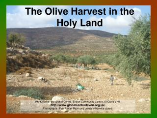 The Olive Harvest in the Holy Land