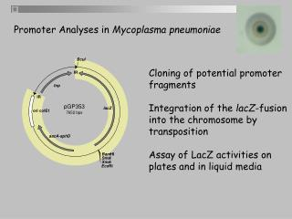 Cloning of potential promoter fragments Integration of the  lacZ -fusion into the chromosome by
