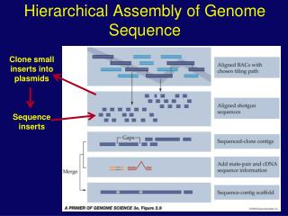 Hierarchical Assembly of Genome Sequence