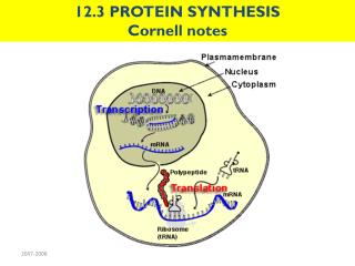 12.3 PROTEIN SYNTHESIS Cornell notes
