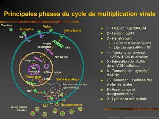 Principales phases du cycle de multiplication virale