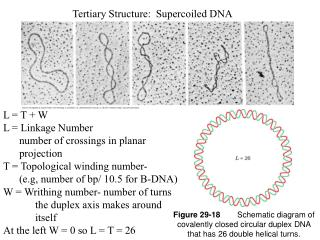 Tertiary Structure:  Supercoiled DNA