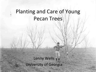 Planting and Care of Young Pecan Trees