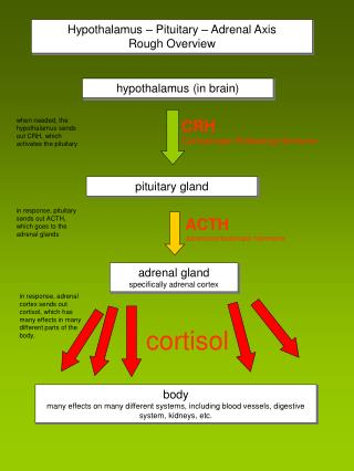 Hypothalamus – Pituitary – Adrenal Axis Rough Overview