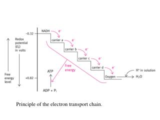 Principle of the electron transport chain.