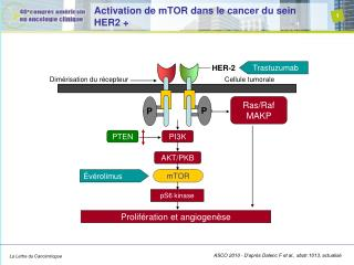Activation de mTOR dans le cancer du sein HER2 +